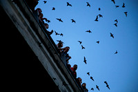 Austin, Texas 1.5 Million Mexican Free-Tailed Bats emerge from under the Congress Avenue Bridge